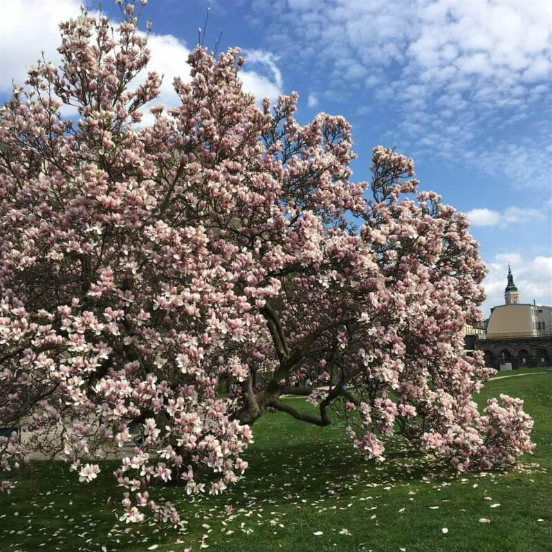 Greiz - Am Ufer der Elster blüht im Frühjahr diese riesige Magnolie