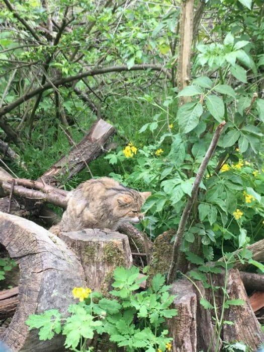 Fütterung Wildkatze 7Erlebnispfad Pfaffengut in Plauen in Sachsen